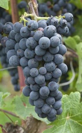 细数澳大利亚红葡萄品种