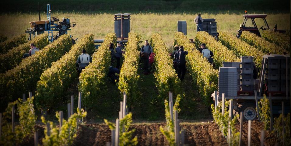 采收季,葡萄园内都要做好哪些工作?