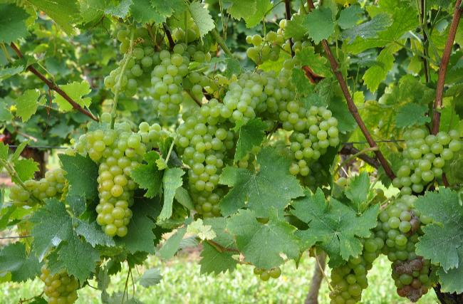 你不得不知的芳香葡萄品种