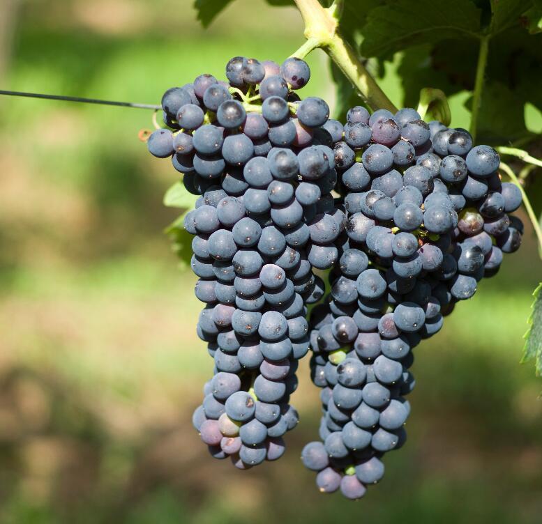 """一方水土""""养""""一方酒:不同产区的西拉葡萄酒"""