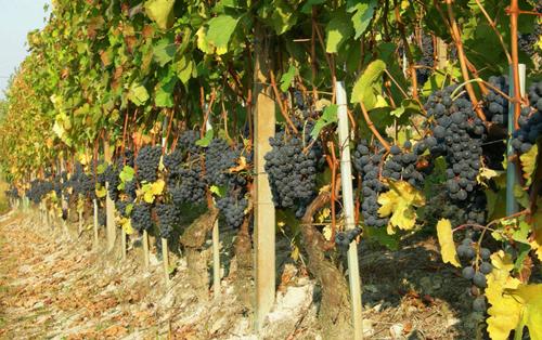 意大利六大本土红葡萄品种
