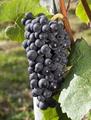 黑皮诺(Pinot Noir)