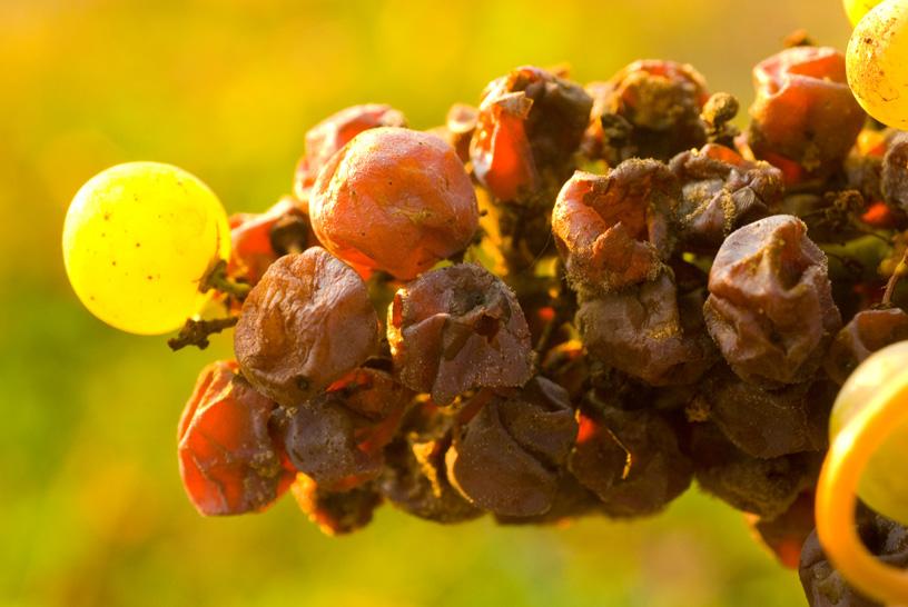 8句话让你更懂葡萄品种赛美蓉