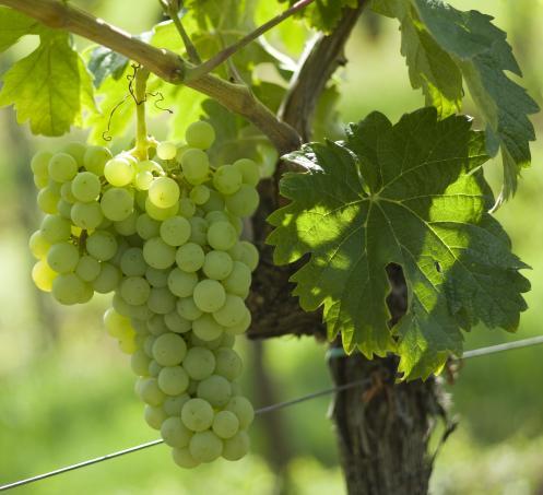 这些常见的西班牙本土品种,你认识几个?