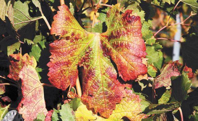 红斑病毒威胁加州葡萄园