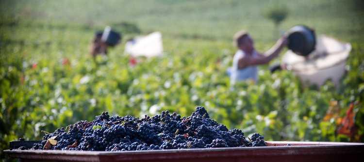 2016勃艮第葡萄收成报告:产量剧减,但品质优秀
