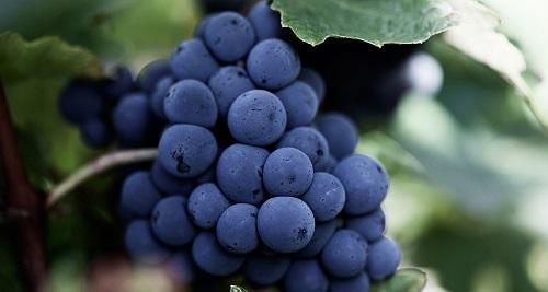 酵母:葡萄酒酿造的大功臣
