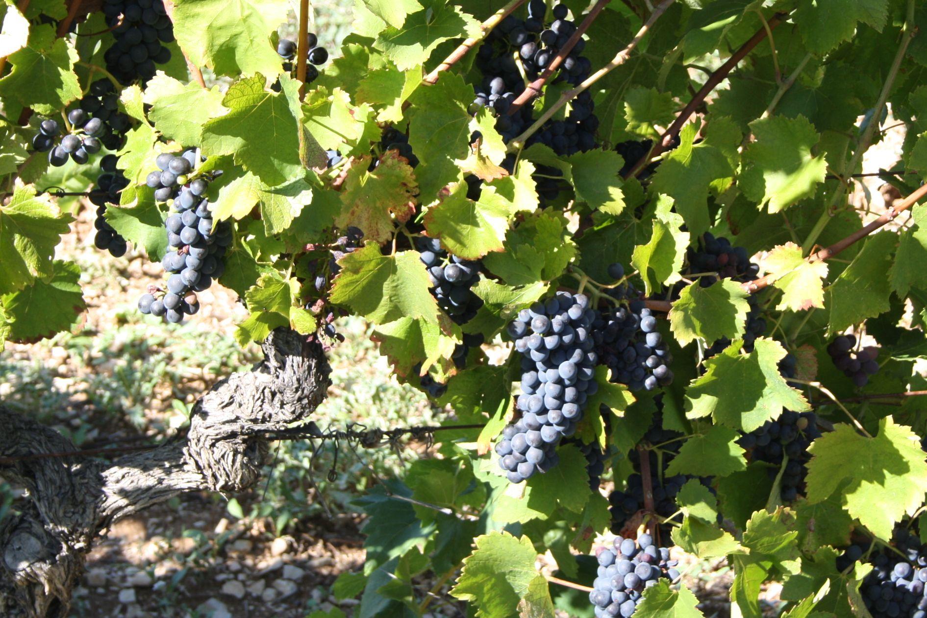 不可不知的10大葡萄品种