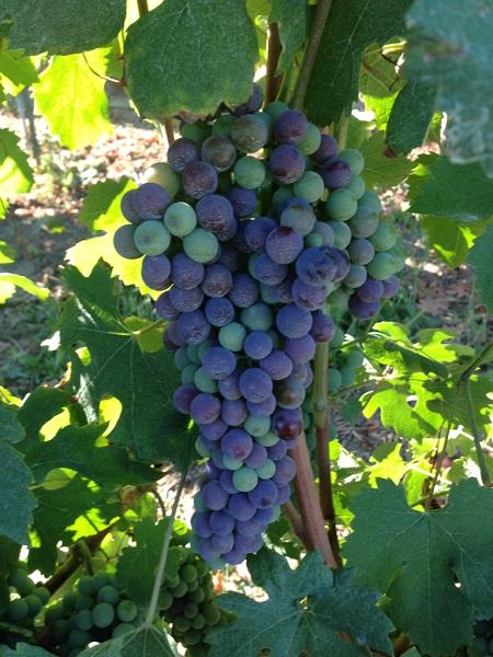酿造意大利红葡萄酒的5大葡萄品种