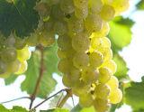 1997年份伊贡米勒沙兹堡雷司令精选白葡萄酒