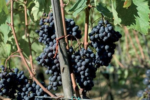 好葡萄出好酒:基安帝葡萄品种简介