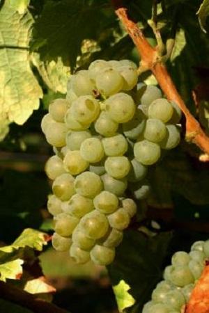 细数澳大利亚白葡萄品种