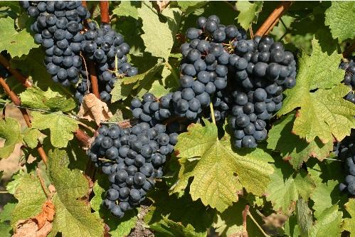 智利葡萄品种大观园之黑皮诺篇