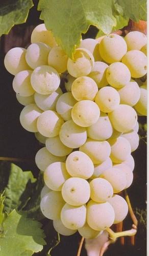詳解德國主要白葡萄品種