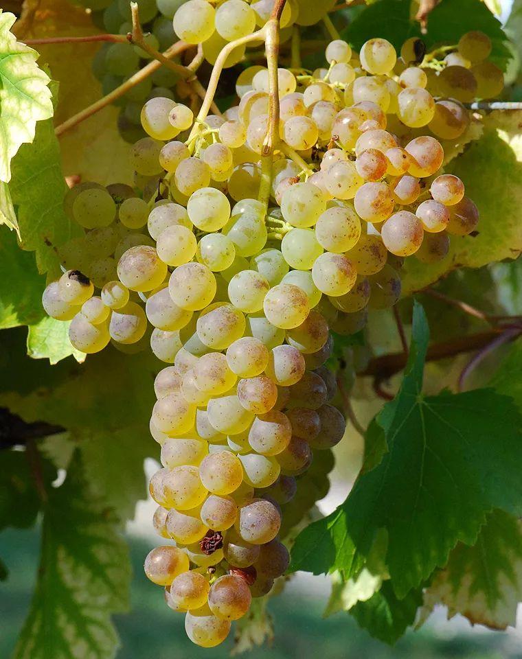 波尔多七大白葡萄品种集结令