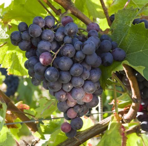 未来可期,中国葡萄酒产区崛起正当时