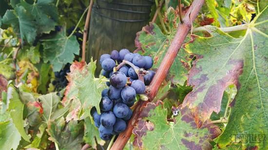 6种最低调的优质意大利葡萄酒