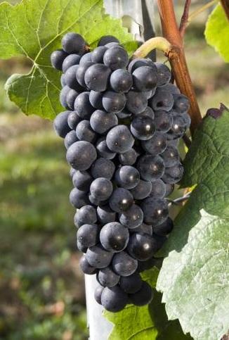 十大热搜葡萄品种