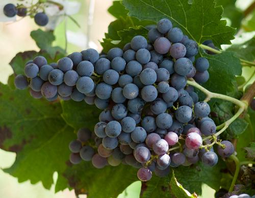 美国最出色的六大黑皮诺葡萄酒产区