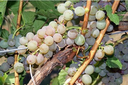 """""""拯救葡萄园计划""""和有意识的消费:科尔迪列蒂在利古里亚葡萄酒业的秘诀"""