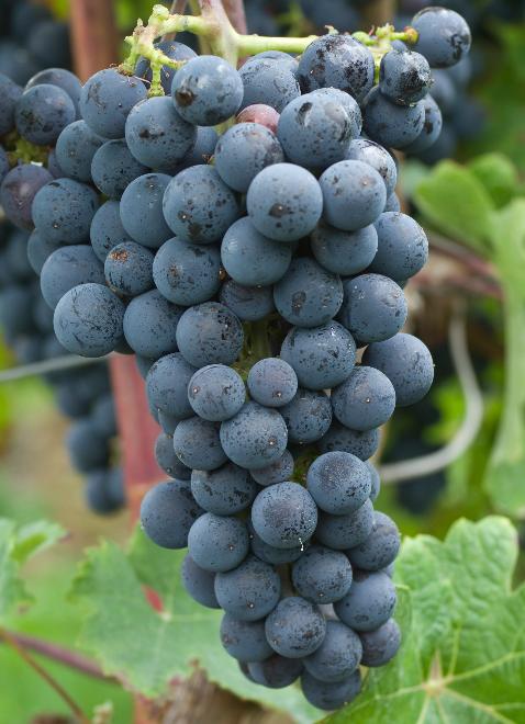 """必须记住的葡萄品种并不多,""""4红4白""""就够了!"""