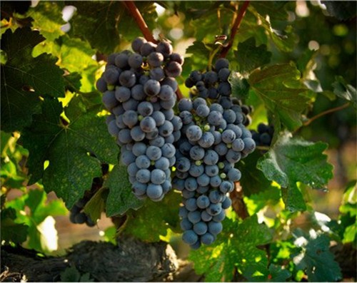 智利葡萄酒:百花齐放,值得期待