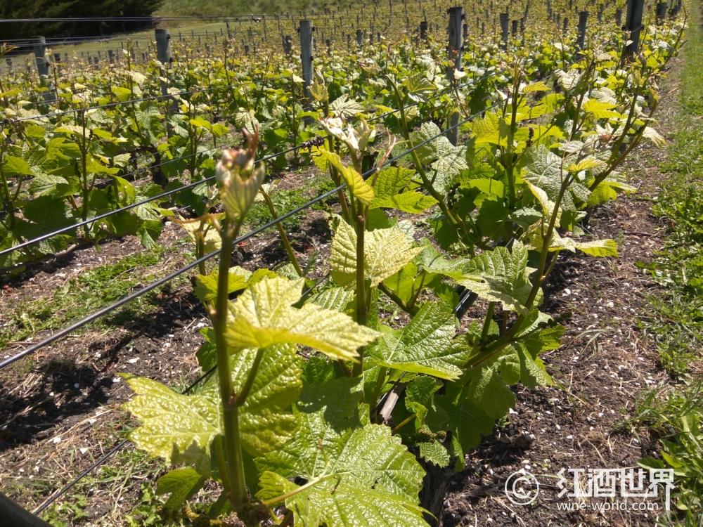 吡嗪:葡萄酒中青椒风味的来源