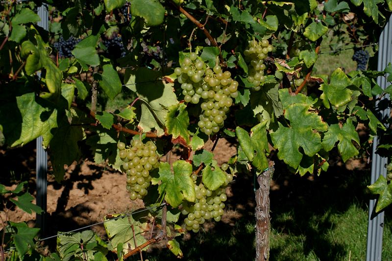 揭秘圣托里尼岛葡萄酒