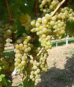 为什么葡萄最适合酿酒?