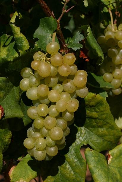 希腊主要的酿酒葡萄品种
