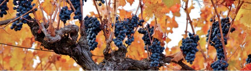 迈坡谷,智利葡萄酒的起源