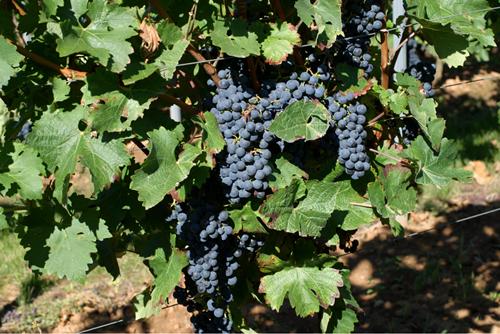 美国险胜法国,成最大葡萄酒消费国
