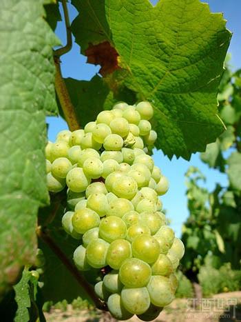 勃艮第香瓜(Melon de Bourgogne)