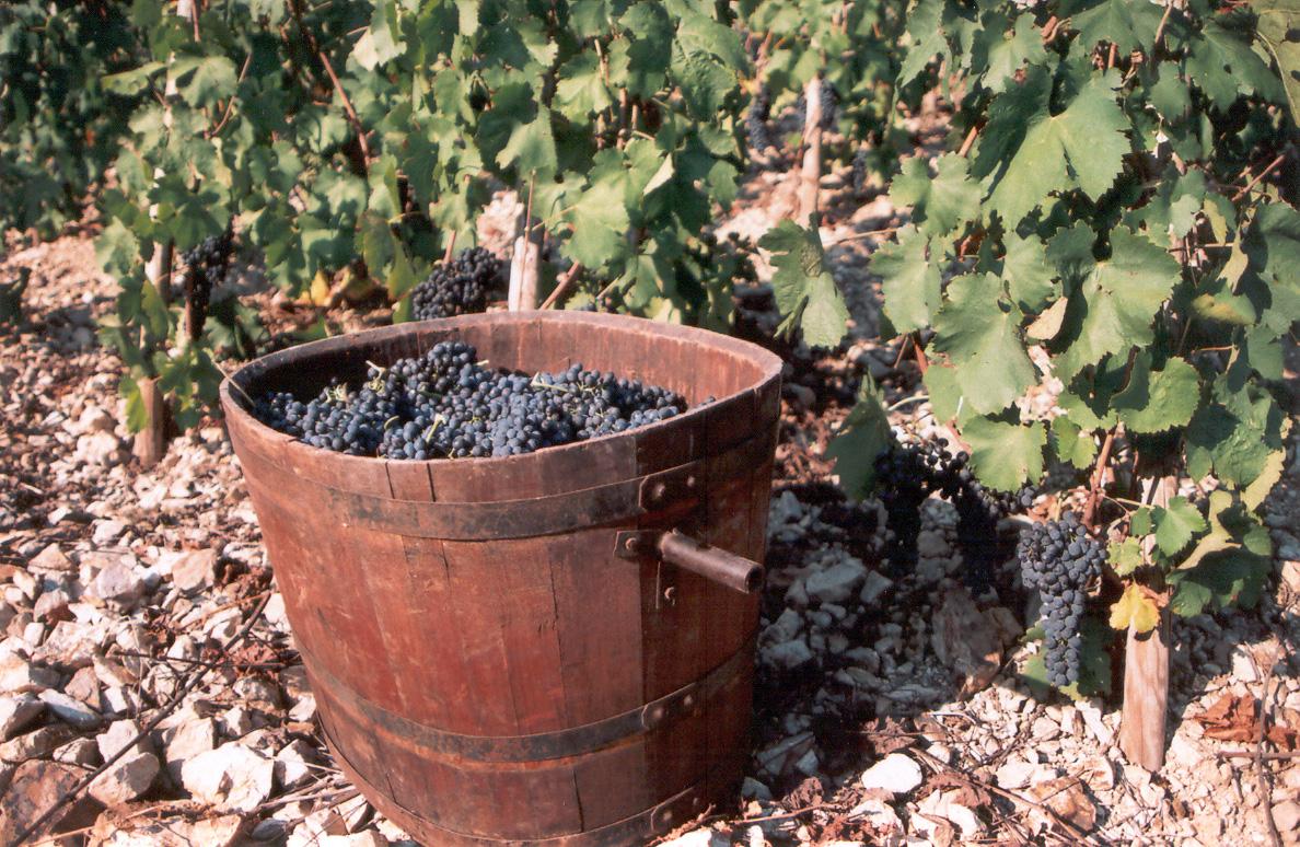 大有学问的葡萄采收日期