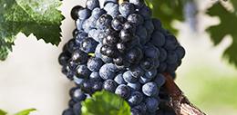 十大熱搜葡萄品種