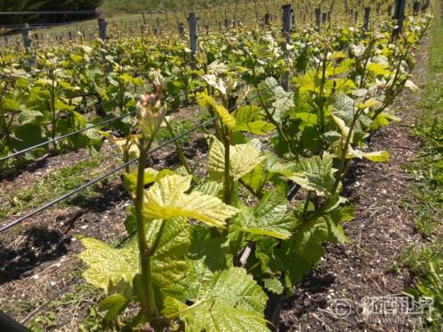 VDN:法国天然甜葡萄酒简介