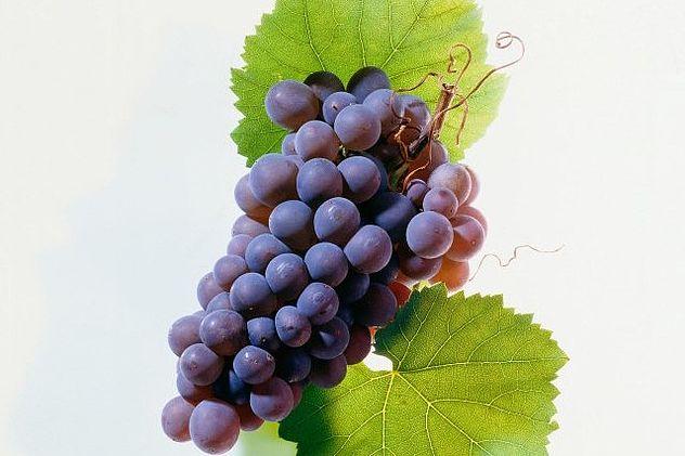 除了雷司令,德国还有哪些常见的葡萄品种?