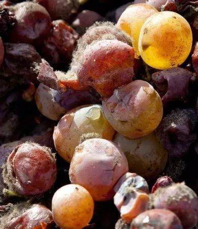 贵腐菌与葡萄酒的不解之缘