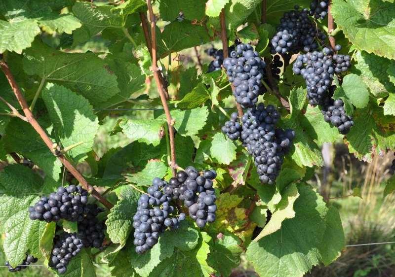 七大葡萄品种,成就香槟的奢华与辉煌