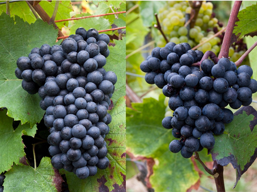 第二节 温文尔雅的佳美葡萄