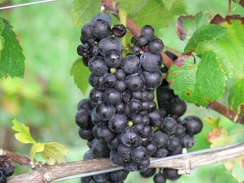 详解德国主要红葡萄品种