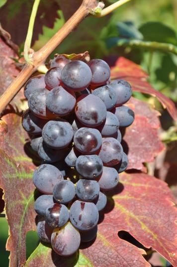 这些被忽视的葡萄品种,你都知道哪些?
