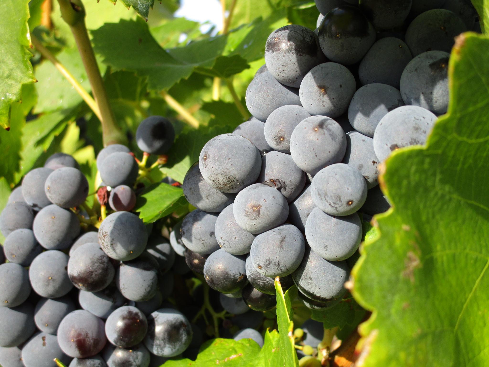 常见的5大红葡萄品种有哪些典型风味?