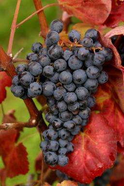 """聚焦""""二线""""红葡萄品种"""