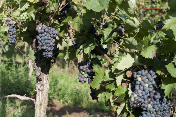 蓝色希腊的红葡萄