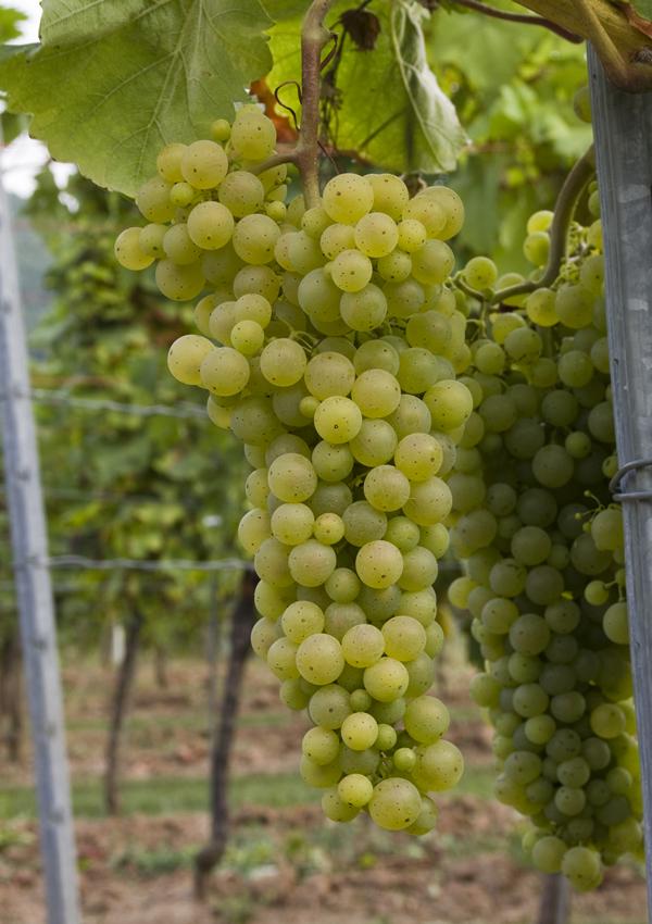 那些成就顶级甜酒的葡萄品种