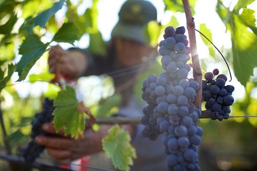 葡萄采收,大有学问