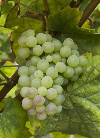 南非有哪些主要葡萄品种?