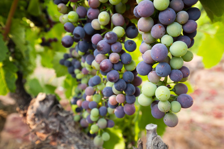 万物生长靠太阳——谈谈葡萄与阳光