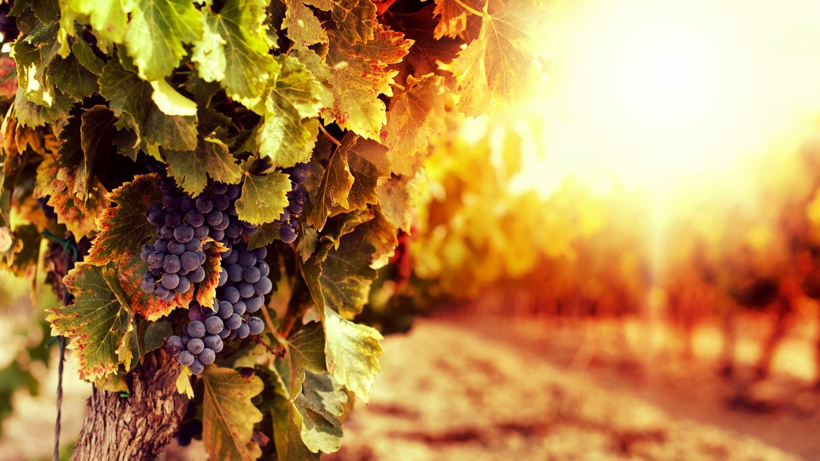 2020葡萄采收进行时